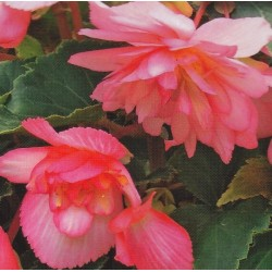 Begonia x tuberhybrida 'Chanson Bicolour Pink and White F1'