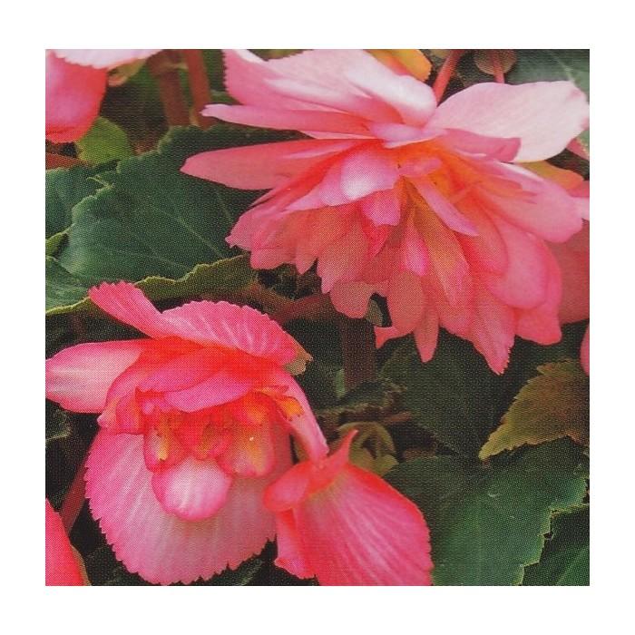Begonia x tuberhybrida 'Chanson Bicolour Pink and White F1'