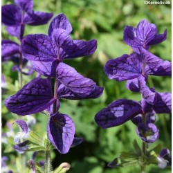 Salvia viridis 'Oxford Blue'
