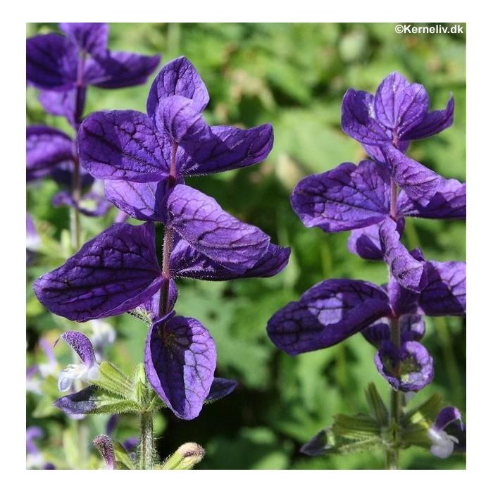 Salvia viridis 'Oxford Blue'