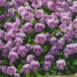 Viola cornuta 'Sorbet Lavender Ice F1'
