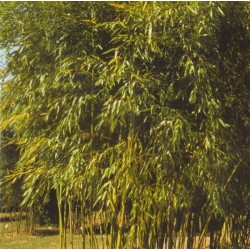 Phyllostachys viridiglaucescens