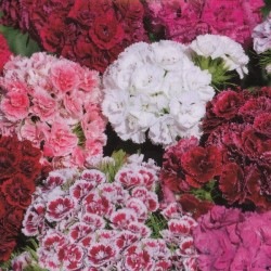 Dianthus barbatus 'Double Mix'