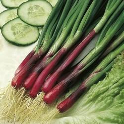Spring Onion 'Red' (Allium...