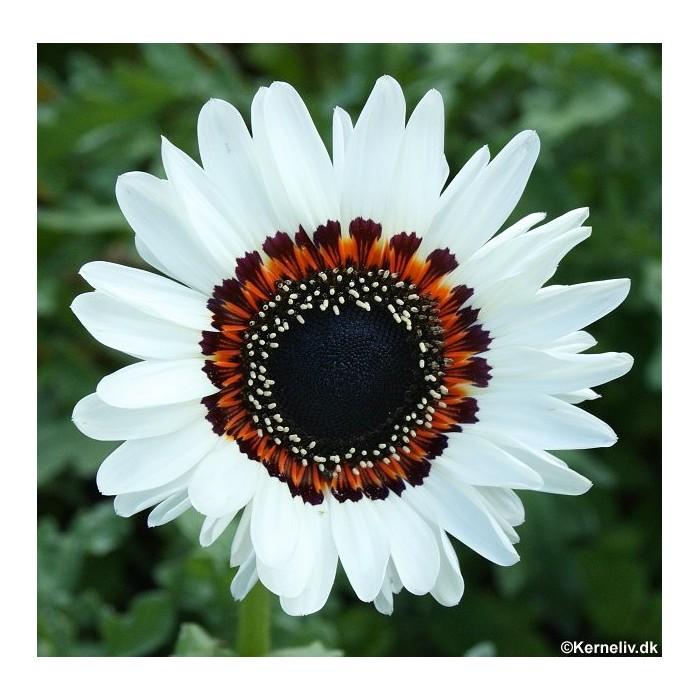 Venidium fastuosum 'Black and White'