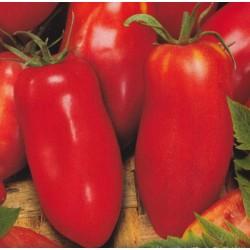 Tomat 'Hugo'