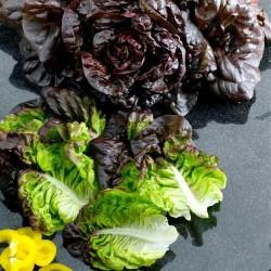 Romaine salat 'Amaze'