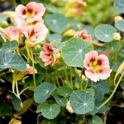 Tropaeolum minus 'Ladybird Rose'