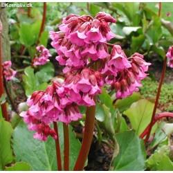 Bergenia cordifolia...