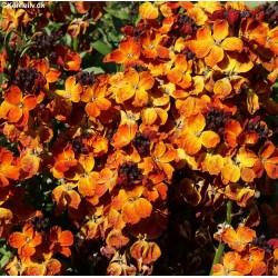 Cheiranthus cheiri, Wallflower