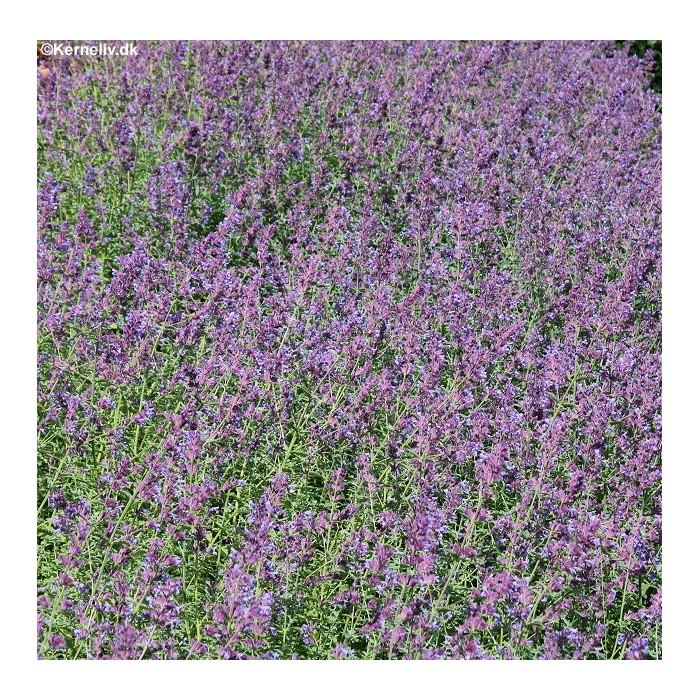 Salvia coccinea 'Coral Nymph', Skarlagensalvie