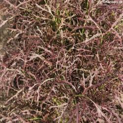 Salvia farinacea 'Blue & White', Texas-salvie
