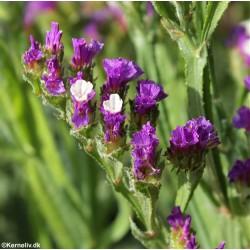 Limonium sinuatum 'Violet',...