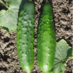 Outdoor Cucumber...
