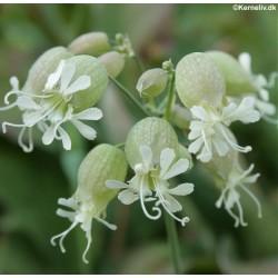 Silene vulgaris, Blæresmælde