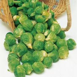 Brussels Sprout 'Evesham...
