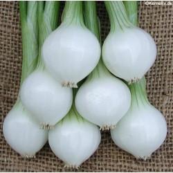 Pickling Onion 'Barletta'