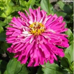 Zinnia elegans 'Lilac Empress'