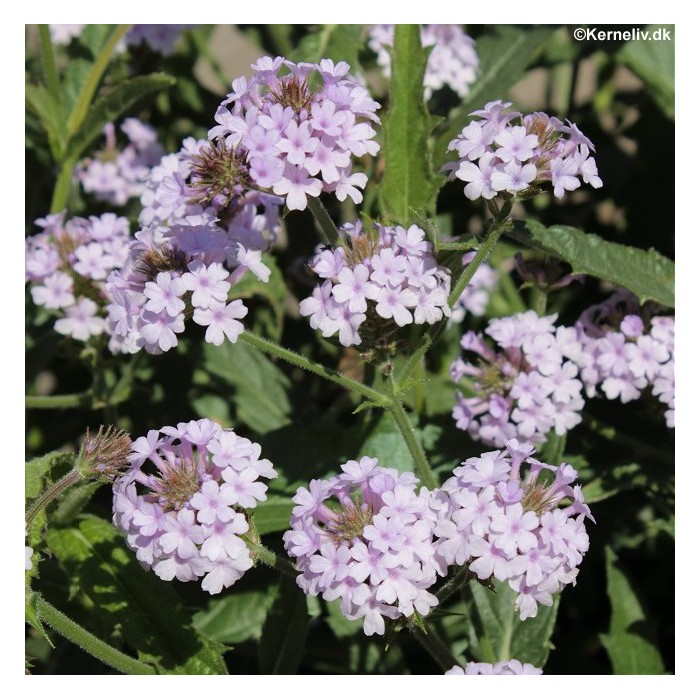 An Abundance Of Soft Pink Flowers Above Small Dark Green Serrated Leaves Perfect For Hanging Baskets As Well Pots And Containers