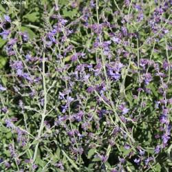 Perovskia atriplicifolia,...