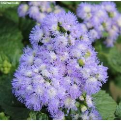 Viola cornuta 'Midnight runner', Horned Violet