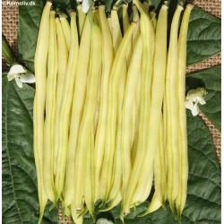 Buskbønne 'Berggold'