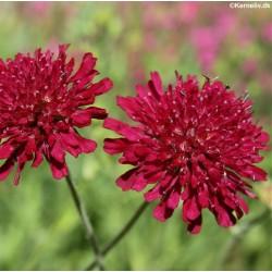 Knautia macedonica 'Red...