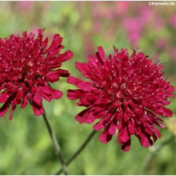 Knautia macedonica 'Red...