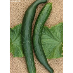Outdoor Cucumber 'Burpless...
