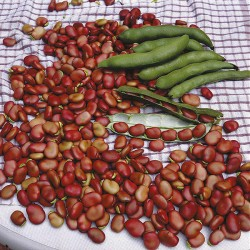 Broad Bean 'Red Epicure'