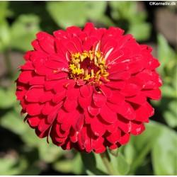 Zinnia elegans 'Scarlet...