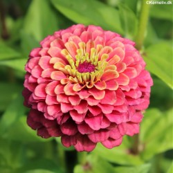 Zinnia elegans 'Queeny Red...
