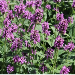 Stachys officinalis,...