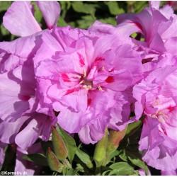 Clarkia amoena 'Cattleya',...