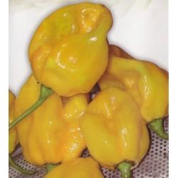 Chilipeber 'Bombe jaune'