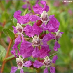 Dianthus barbatus 'Newport pink', Studenternellike