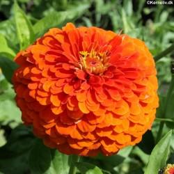 Zinnia elegans 'Orange...