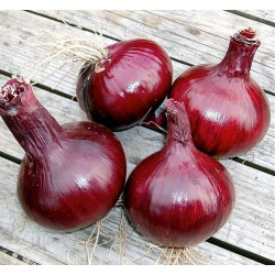 Bulb Onion, Red 'Karmen'
