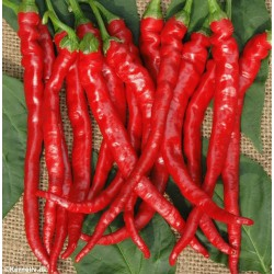 Chili Pepper 'Cayenne'