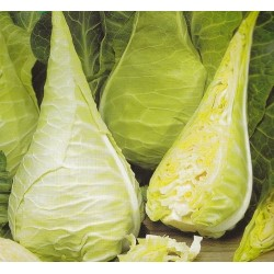 Cabbage, Pointed 'Filderkraut'