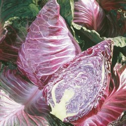 Cabbage, Pointed 'Kalibos'