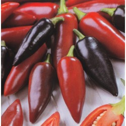 Chili Pepper 'Pot Black'