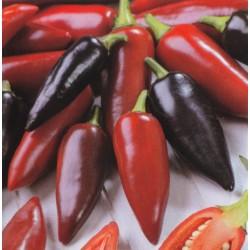 Chilipeber 'Pot Black'