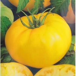 Tomat 'Brandywine Yellow'