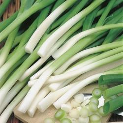Spring Onion 'Ishikura',...
