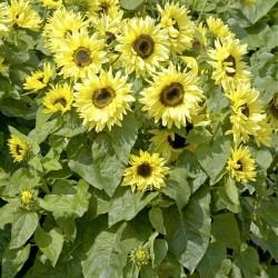 Helianthus annuus 'Garden...
