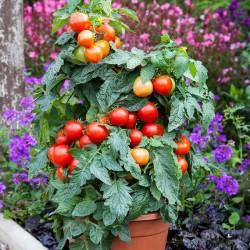 Tomato 'Summerlast F1'
