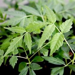 Toona sinensis, Asiatisk...