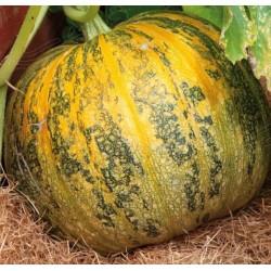 Pumpkin 'Eso', Organic