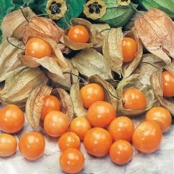 Ananaskirsebær, Physalis...